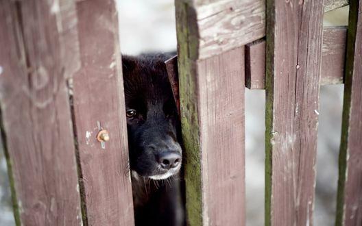 Обои Любопытный черный пес просунул нос сквозь щель в заборе
