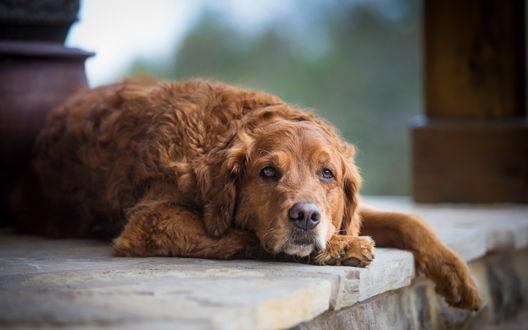 Обои Рыжий пес лежит распластавшись и грустно смотрит в камеру, фотограф Tom Landretti