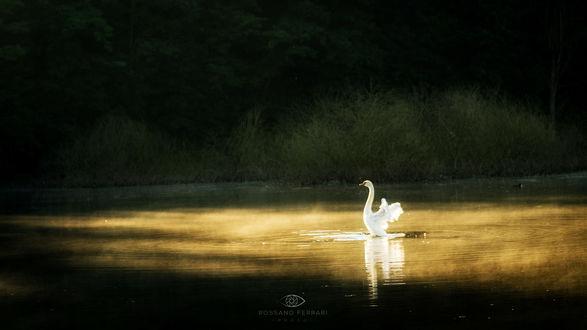 Обои Лебедь на озере, восход, фотограф Rossano Ferrari