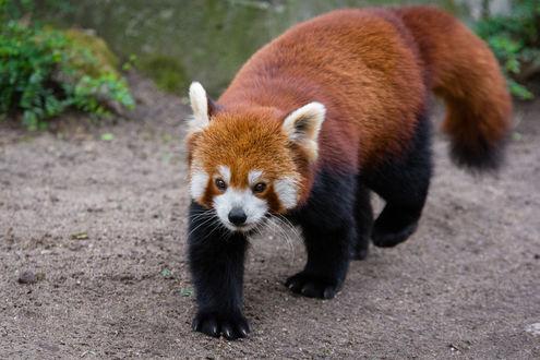 Обои Красная панда на земле