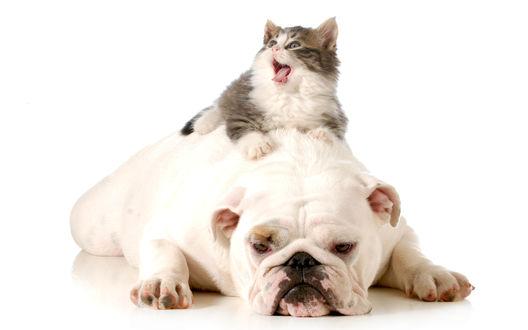 Обои Толстый пушистый котенок сидит сверху на распластавшемся английском бульдоге и мяукает