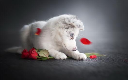Обои Щенок хаски с интересом смотрит на кружащиеся лепестки красных роз, фотограф Alicja Zmyslowska