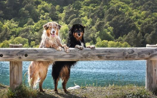 Обои Две мокрые австралийские овчарки стоят, опираясь на ограду на фоне реки и леса