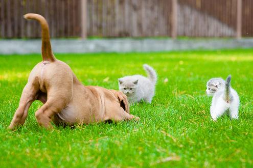 Обои Бордоский дог играет с двумя котятами