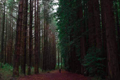Обои Девушка стоит на дороге среди очень высоких хвойных деревьев