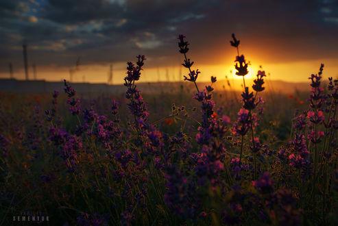 Обои Лаванда в солнечном свете на закате. Фотограф Семенюк Василий
