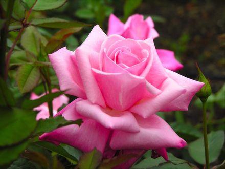 Обои Розовая роза крупным планом
