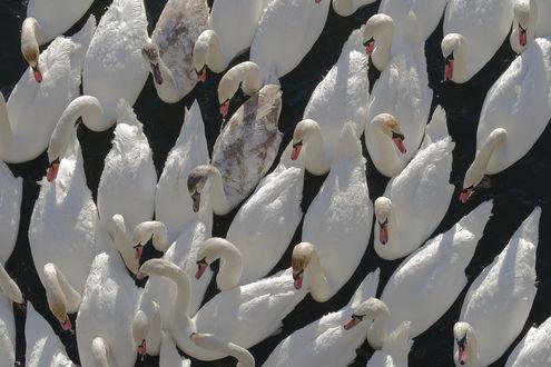 Обои Лебеди на воде, фотограф Peter Orlickу