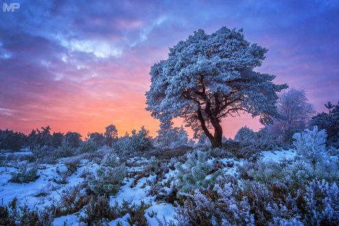 Обои Зимняя красота на фоне розового неба, фотограф Martin Podt