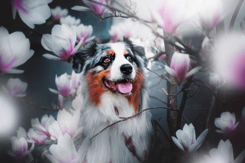 Обои Австралийская овчарка среди цветов магнолии, by KristynaKvapilova