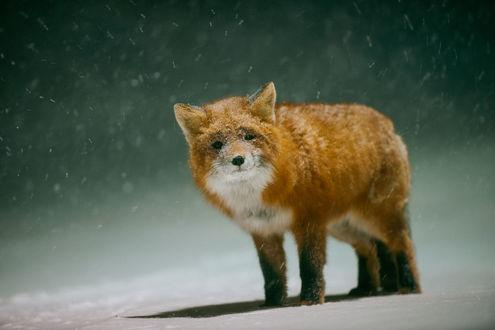 Обои Лиса стоит на снегу. Фотограф Иван Кислов
