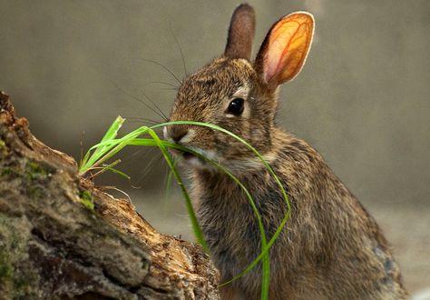 Обои Кролик у зеленой травинки, фотограф Andre Villeneuve