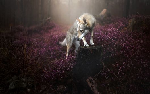 Обои Волк стоит на пеньке среди розовых цветов в лесу, а позади сгущается туман, фотограф Alicja ZmysЕ'owska