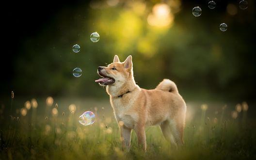 Обои Собака породы акита ину ловит мыльные пузыри