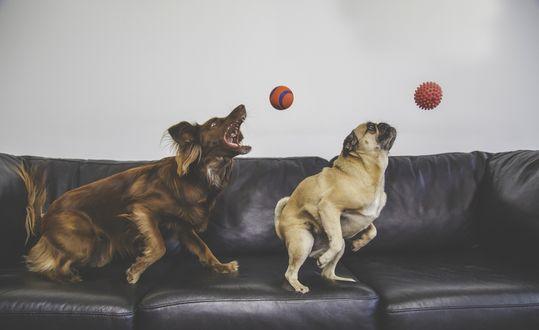 Обои Две собаки ловят мячики, запрыгнув на диван