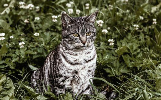 Обои Серый полосатый кот сидит в траве среди ромашек