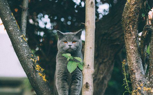 Обои для рабочего стола Серый британский кот сидит среди веток большого дерева (© blackghost),Добавлено: 28.07.2017 00:32:09