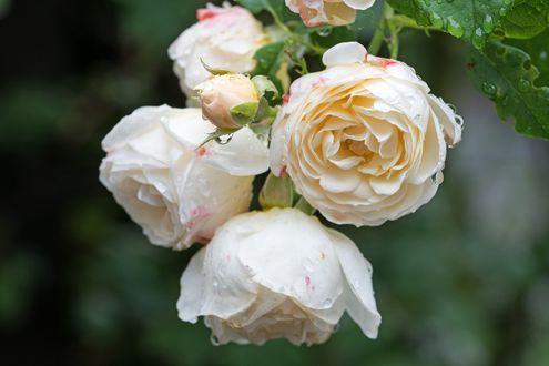 Обои Белые кустовые розы в каплях воды на размытом фоне