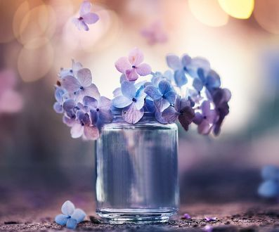 Обои Голубые с сиреневым цветы гортензии в баночке и на столе, фотограф Ashraful Arefin