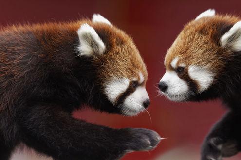 Обои Две красные панды, фотограф Andre Villeneuve