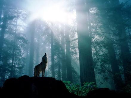 Обои Воющий волк в лесу