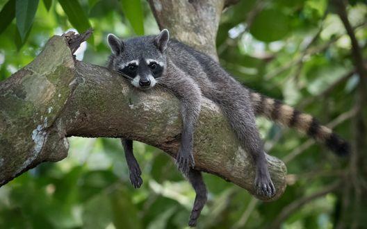 Обои Молодой енот лежит на дереве