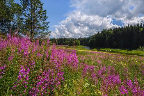 Обои Цветущий луг иван-чая. Фотограф Лашков Федор