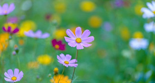 Обои Цветы космеи на размытом фоне поля, фотограф Vladimir Ternovoy