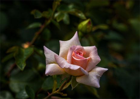 Обои Розовая роза и бутоны. Фотограф Михаил MSH-Mykhailo Sherman