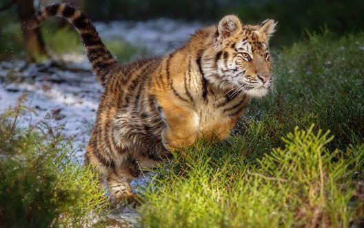 Обои Молодой тигр выпрыгивает из воды