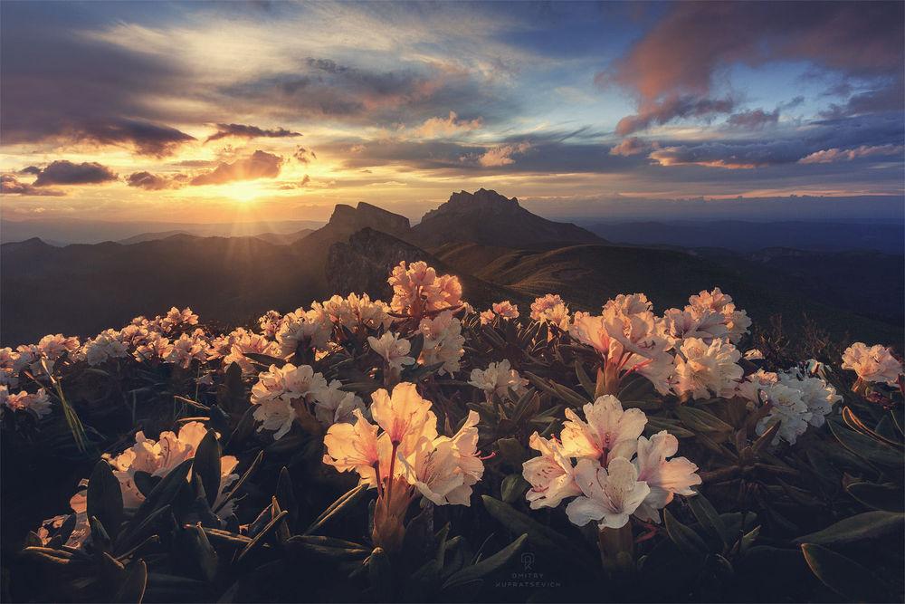 Обои для рабочего стола Рассвет на Кавказских горах Адыгеи, на переднем плане розовые цветы, фотограф Dmitry Kupratsevich