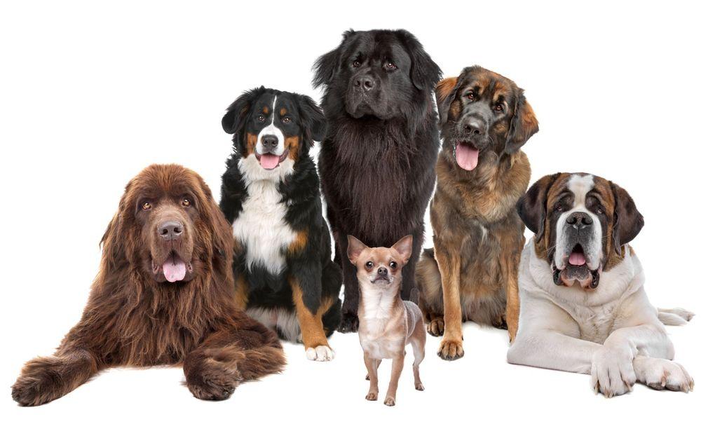 Обои Собаки всех пород и размеров позируют на белом фоне ...