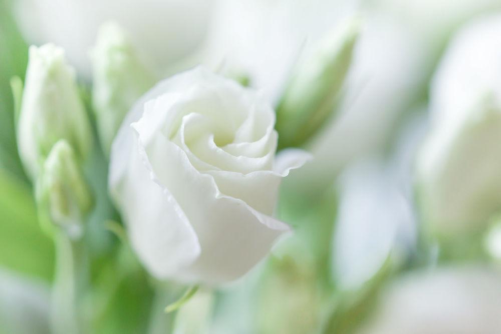 Обои для рабочего стола Белая роза с бутонами на размытом фоне, фотограф Paula W