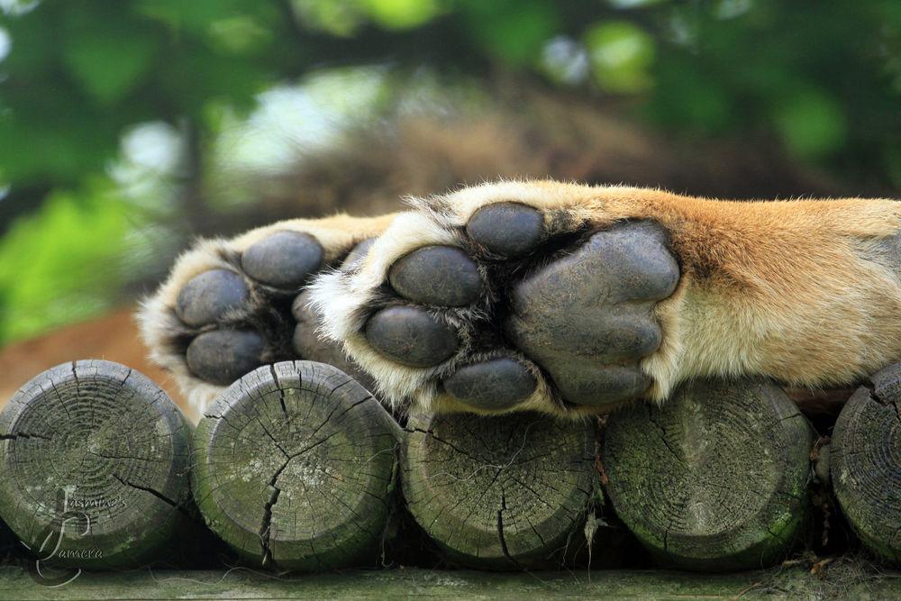 Обои для рабочего стола Лапы льва лежат на бревнах, фотограф Jasmine Curtis