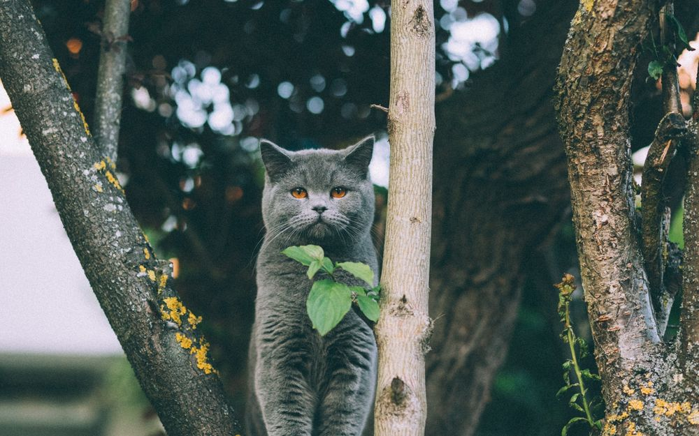 Обои для рабочего стола Серый британский кот сидит среди веток большого дерева