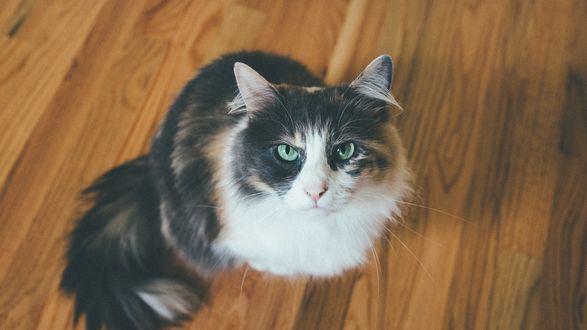 Обои Трехцветная кошка сердито смотрит в камеру