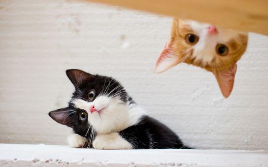 Обои Черно-белый котенок смотрит куда то склонив мордашку, рыжий котенок выглядывает сверху