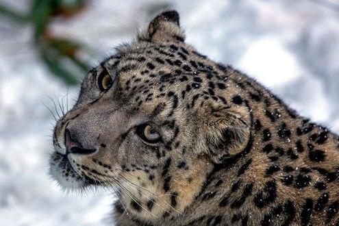 Обои Леопард под падающим снегом, фотограф Jon Albert
