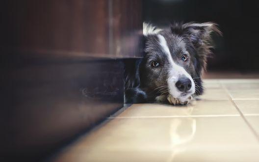 Обои Пес лежит на полу