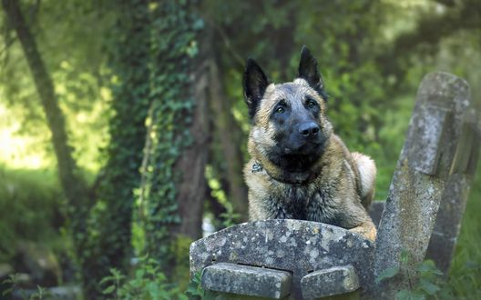Обои Собака породы Малинуа лежит на каменной скамейке
