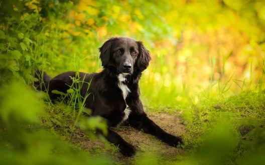 Обои Черный пес лежит возле тропинки