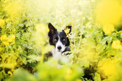 Обои Пес породы Бордер-колли среди желтых цветов