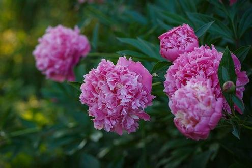 Обои Розовые цветущие пионы, фотограф Инна Сухова