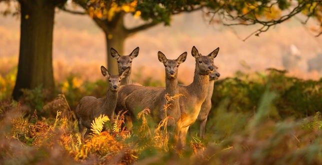 Обои Молодые олени на природе, фотограф Mark Bridger