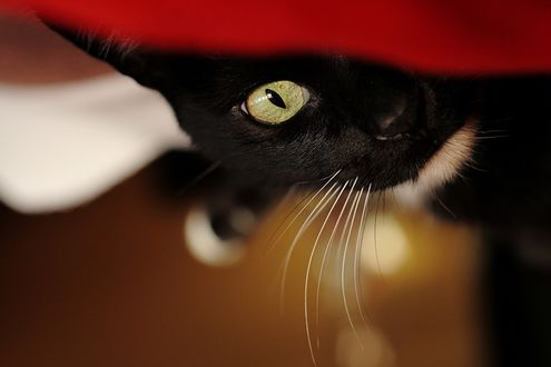 Обои Кошачья мордашка крупным планом - желтый глаз и вибриссы