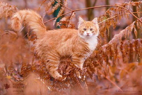 Обои Рыжая кошка в листве, фотограф Roeselien Raimond