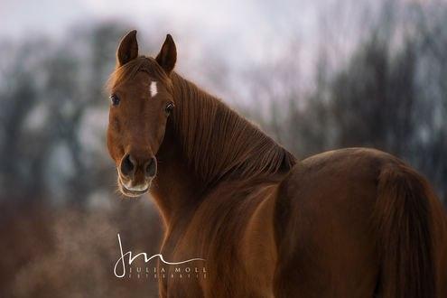 Обои Лошадь, обернувшись, смотрит на нас, by Julia Moll