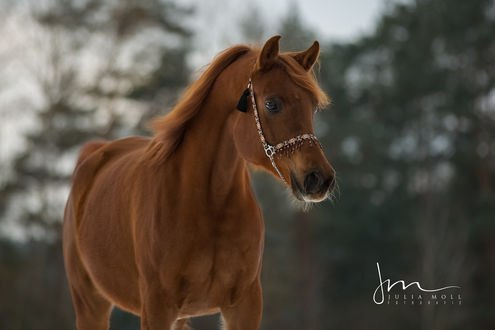 Обои Лошадь на фоне размытой природы, by Julia Moll