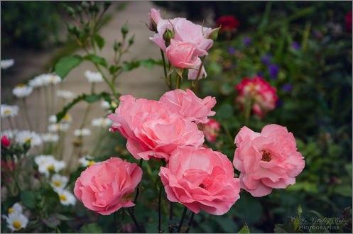 Обои Розовые розы на кусте, фотограф Optina
