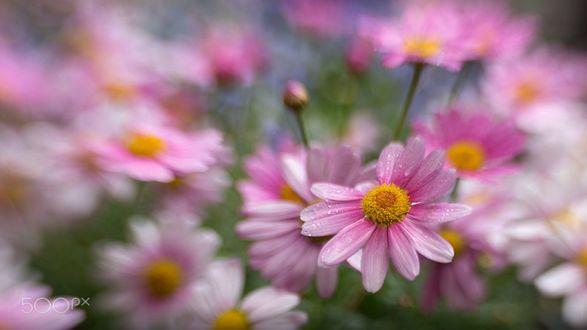 Обои Розовые цветы космеи в каплях после дождя, фотограф Alida Jorissen